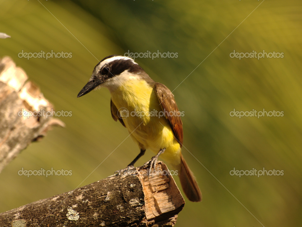 Pseudoleistes virescens sitting on a tree branch — Stock Photo #1505646
