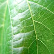 Grapes leaf — Stock Photo