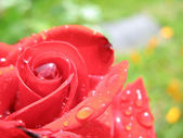 Red rose on green with yellow background — Stock Photo