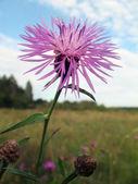 Cornflower in open field — Stock Photo