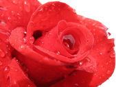 Red rose on a white background — Stock Photo