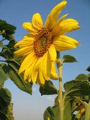 Blossoming sunflower against sky — Stock Photo