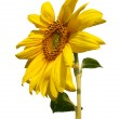 Blossoming sunflower on white background — Stock Photo #2002155