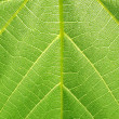 Structure of grape leaf — Stock Photo #2002374