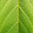 Structure of grape leaf (vertical) — Stock Photo