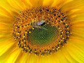 Bee in sunflower — Stock Photo