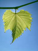 Grape leaf against the sky — Stock Photo