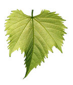 Grape leaf on white background — Stock Photo