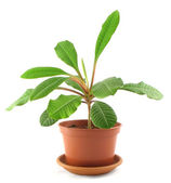Young milkweed in flowerpot — Stock Photo