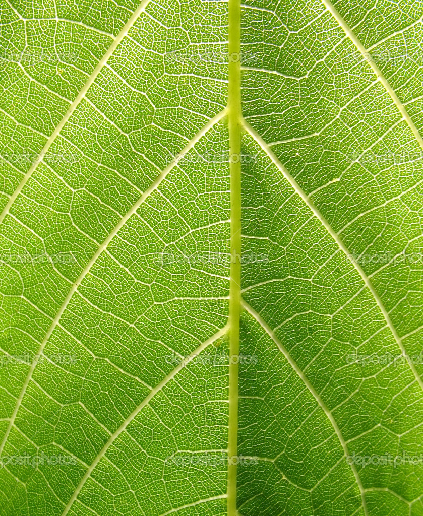 Texture of grape leaf (macro) — Stock Photo #2002484