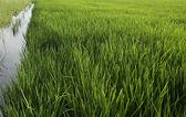 Rice checks — Stock Photo