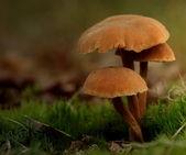 Toadstool , mushroom — Stock Photo