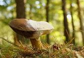 Mushroom / toadstool — Stock Photo