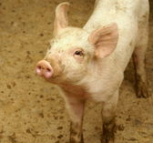 Cute little pig — Stock Photo