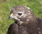 American buzzard — Stock Photo