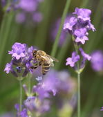 Honeybee collecting nectar — Stock Photo