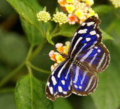 Blue striped butterfly on flower — Stock Photo