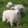 Two young newborn lambs - Stock Photo