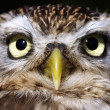 Close portrait of a owl - Stock Photo