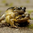 Stock Photo: Mating frogs