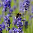 Stock Photo: Honeybee collecting nectar on lavender