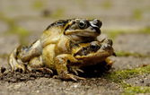 Mating frogs — Stock Photo