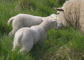 Young newborn lambs with mother sheep — Stock Photo
