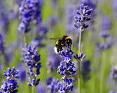 Honeybee collecting nectar on lavender — Stock Photo