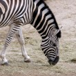 Zebra — Stock Photo #2541872