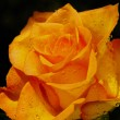 Orange  rose with water drops — Stock Photo