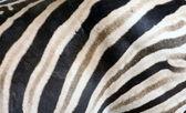 Zebra streifen textur — Stockfoto
