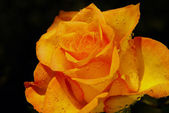 Orange rose with water drops — Stok fotoğraf