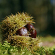 Chestnut — Stock Photo #2568284