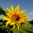 Foto de Stock  : Giant sunflower