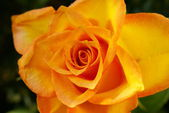 Orange rose with water drops — Photo