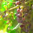 Grapes — Stock Photo #2370684