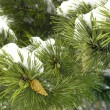Fir-tree — Stock Photo #2371368