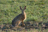 European Hare — Stock Photo