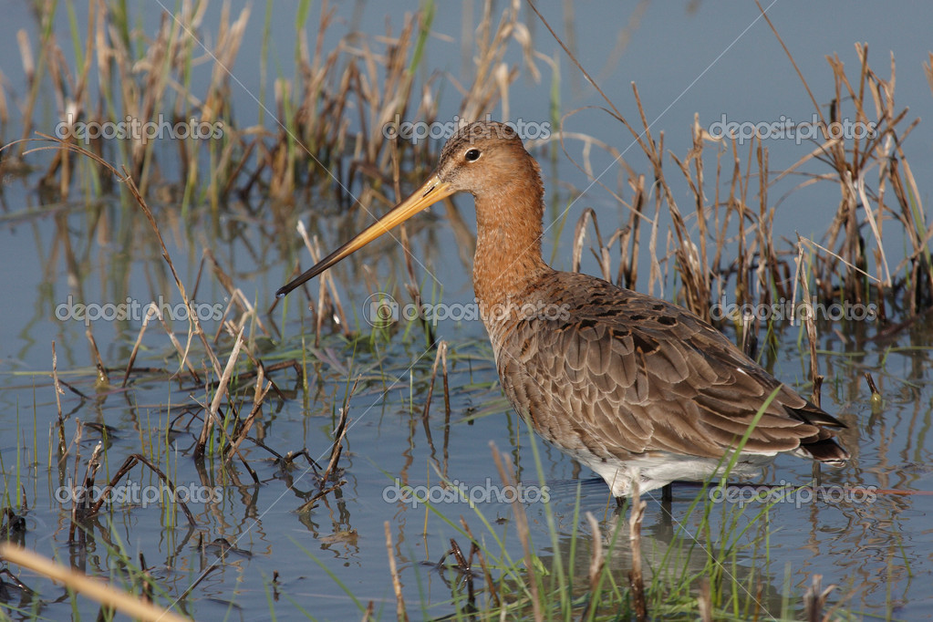 Black-tailed Godwit standing in water — Stock Photo #1519922