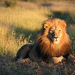 Lion in the sun - Stock Photo