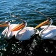Royalty-Free Stock Photo: Pelicans waiting for food
