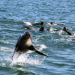 Seal jumping out of the water — Stock Photo #1518682