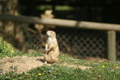 Meercat in the sun — Stock Photo