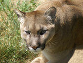 Head of a cougar — Stock Photo