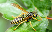 Wasp macro — Stock Photo