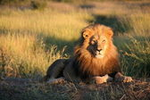 Lion in the sun — Stock Photo