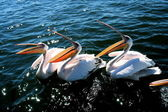 Pelicans waiting for food — Stock Photo