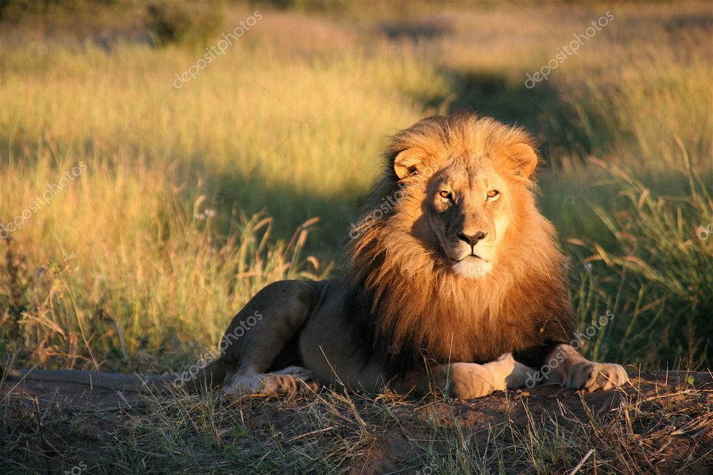 An adult lion lying in the sun looking at the camera — Stock Photo #1518663