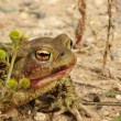 A marsh toad — Stock Photo