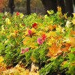 Stock Photo: Lane of shrubbery of dahlias